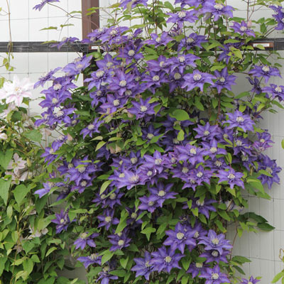 multi blue clematis on sale at spring hill nursery. Black Bedroom Furniture Sets. Home Design Ideas