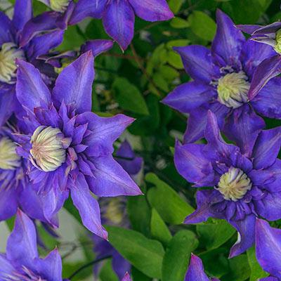 Multi Blue Clematis