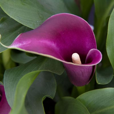 Flower Power Calla lily