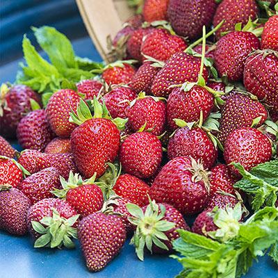 Honeoye Junebearing Strawberry