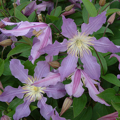 Clematis East River