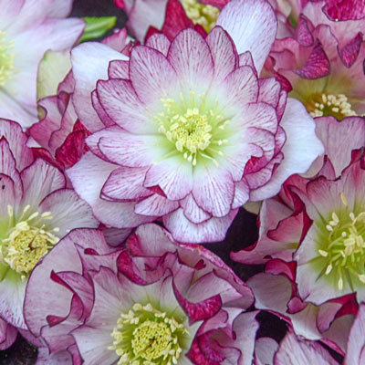 Blushing Bridesmaid Lenten Rose