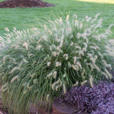 Little bunny fountain grass spring hill nurseries for Fountain grass varieties