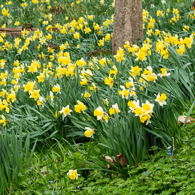 Woodland Carpet of Daffodils