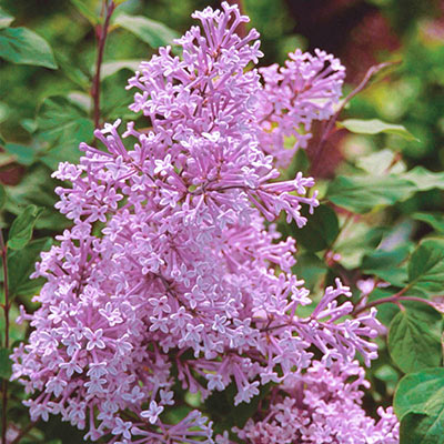 Josee Reblooming Lilac - 4 Pot
