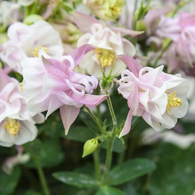 Winky Double Rose Columbine