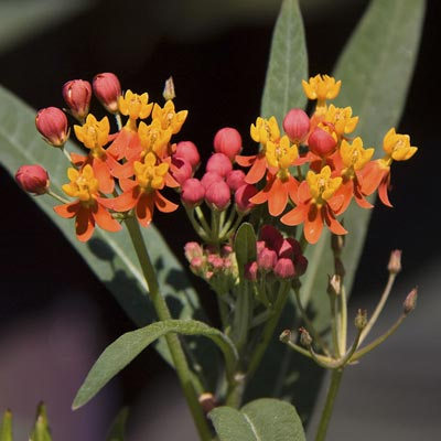 Gay Butterflies Mix Butterfly Weed