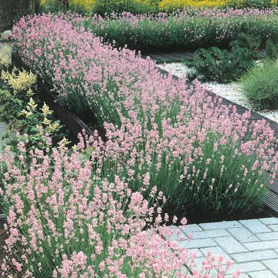 Pink English Lavender