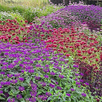 Panorama Mix Bee Balm