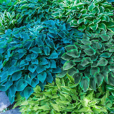 Verdant Medley Hosta Collection Spring Hill Nurseries