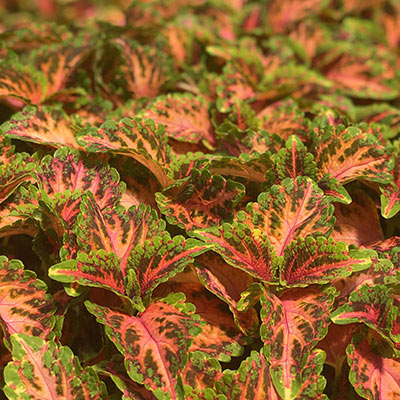 Indian Summer Coleus