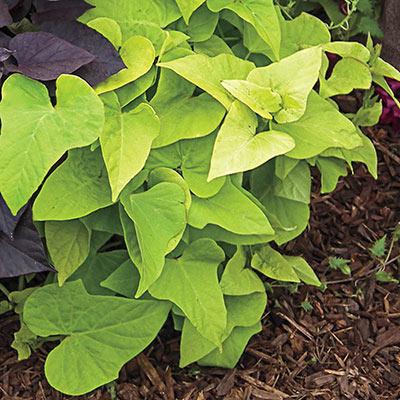 Marguerite Sweet Potato Vine