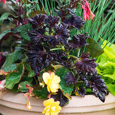 Black Dragon Coleus