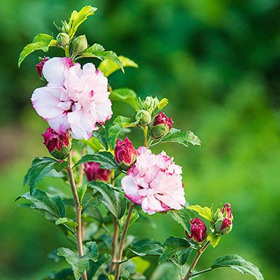 Flowering Shrubs For Sunny Garden Danica Hardy Hibiscus
