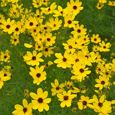 Coreopsis Gilded Lace