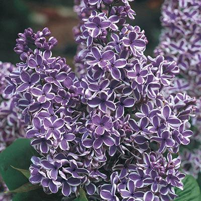 Lilac Syringa Vulgaris Sensation