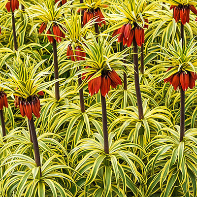 Variegated Crown Imperial