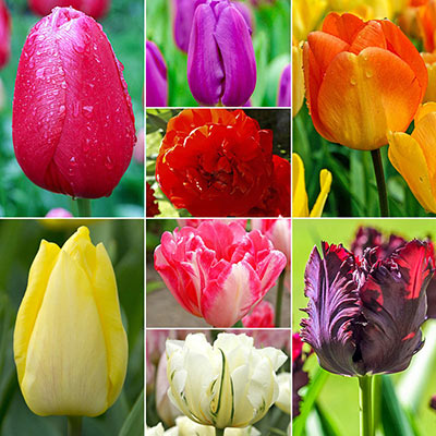 Tulipmania - Tulip Cutting Collection/50 Bulbs