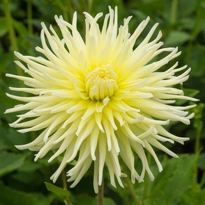 Yellow Star Dahlia