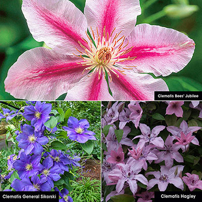 All Summer Clematis Collection
