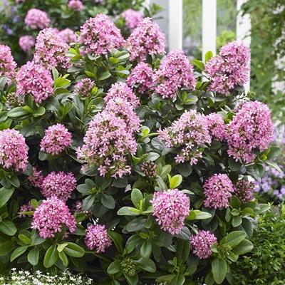 pink elle escallonia shrubs spring hill nurseries. Black Bedroom Furniture Sets. Home Design Ideas