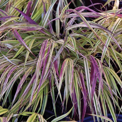 Naomi Japanese Forest Grass