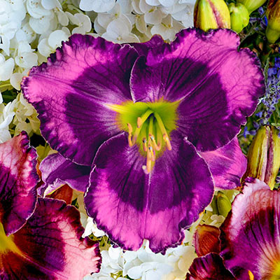 Storm Shelter Reblooming Daylily Proven Winners