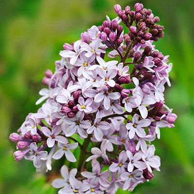 Belle de Nancy Lilac