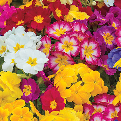 3-Count Hardy English Primrose