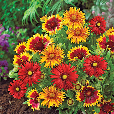 Mixed Gaillardia Border