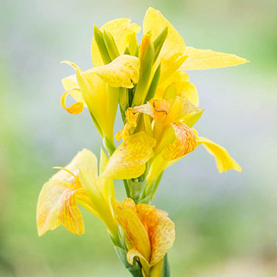 Yellow Cannova Canna