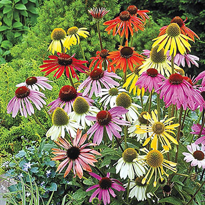 Paradiso Coneflower Mix