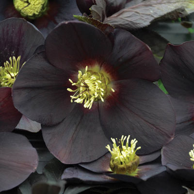 New York Night Lenten Rose
