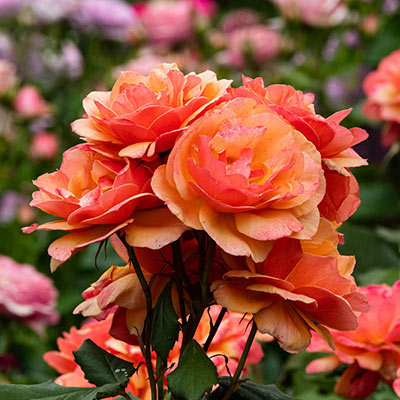 About Face™ Grandiflora Rose