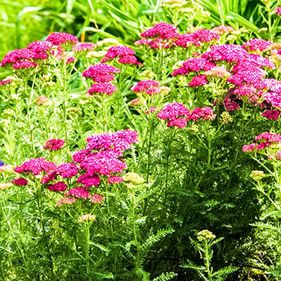 Saucy Seduction Yarrow