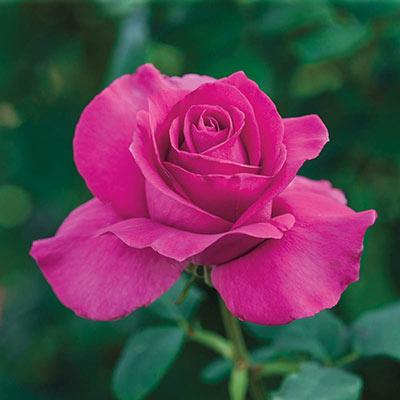 All My Loving Hybrid Tea Rose-JB