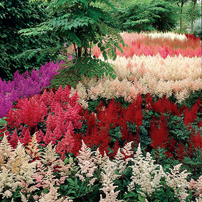 Astilbe Garden Mix