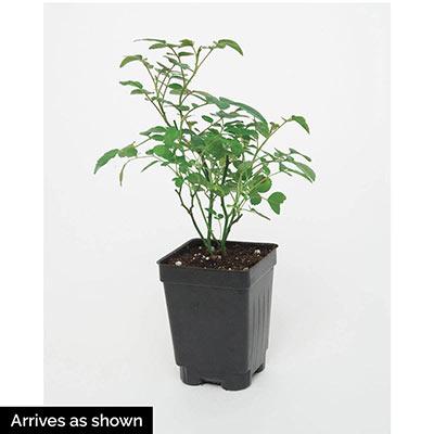 Yellow Freedom Rose