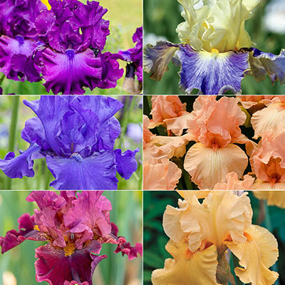 Two Months of Flowers Iris Collection
