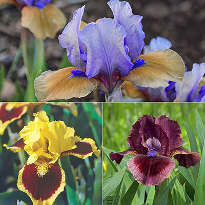 Small but Mighty Iris Collection