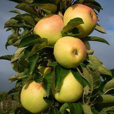 Golden Treat™  Urban Apple<sup>®</sup>