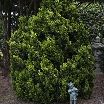 Nana Lutea Hinoki Cypress