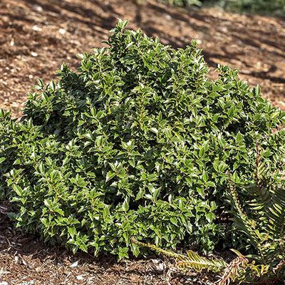 Rock Garden Ilex