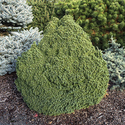 Humpty Dumpty Blue Spruce