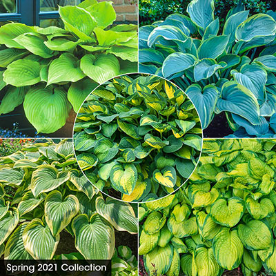 Hostas For Sale >> Buy Hosta Plants At Spring Hill Nurseries
