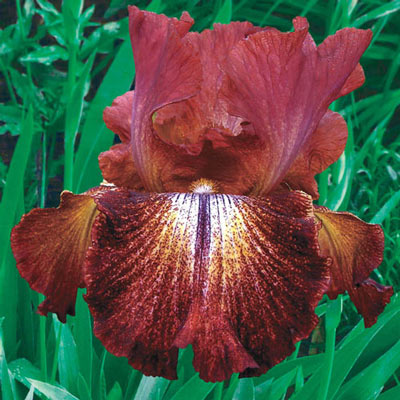 Paprika Fono's Reblooming KickStart™ Iris
