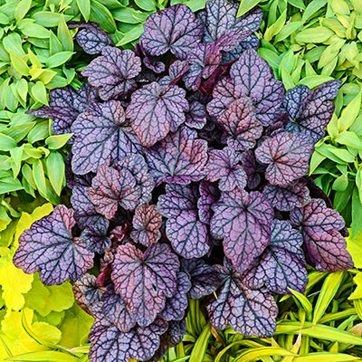 Grape Expectations Heuchera