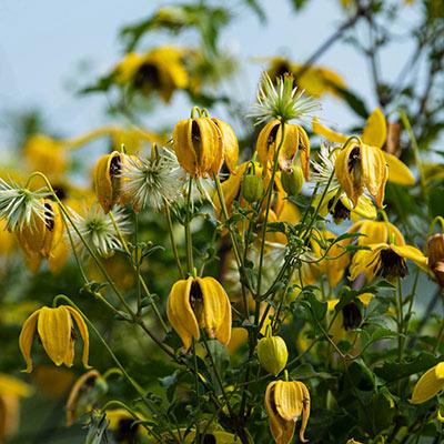 Golden Harvest Clematis