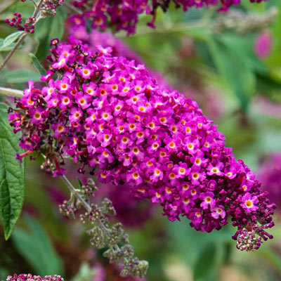 Magenta Darling Butterfly Bush