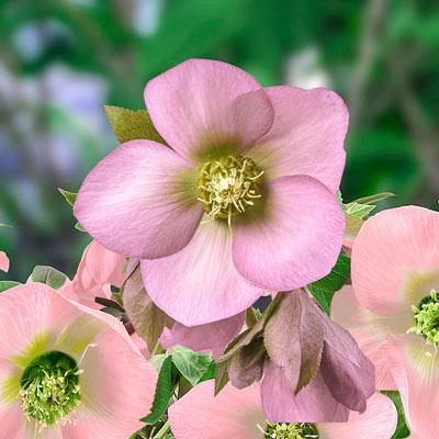 King Single Soft Pink Lenten Rose